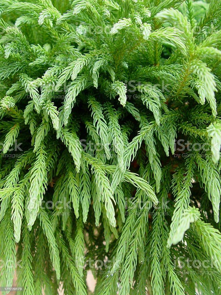 Cryptomeria japonica royalty-free stock photo