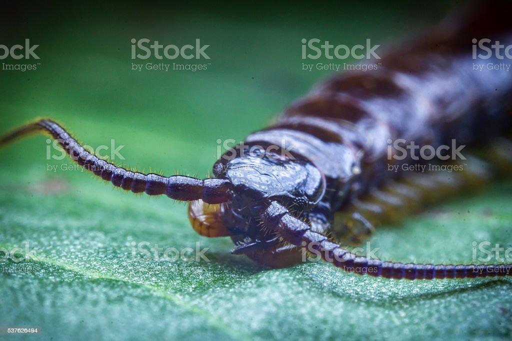 Cryptopid Centipede Theatops californiensis stock photo