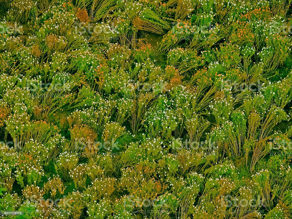 Crysanthemum field stock photo