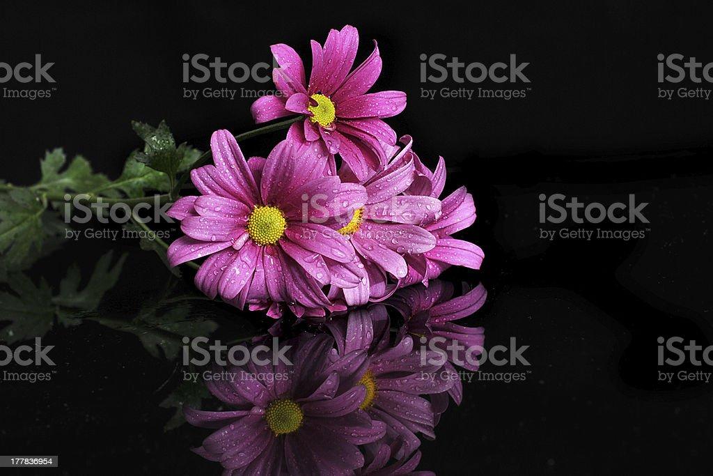 Crysanthemum stock photo