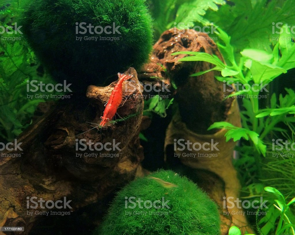 Crystal Red fresh water shrimp royalty-free stock photo