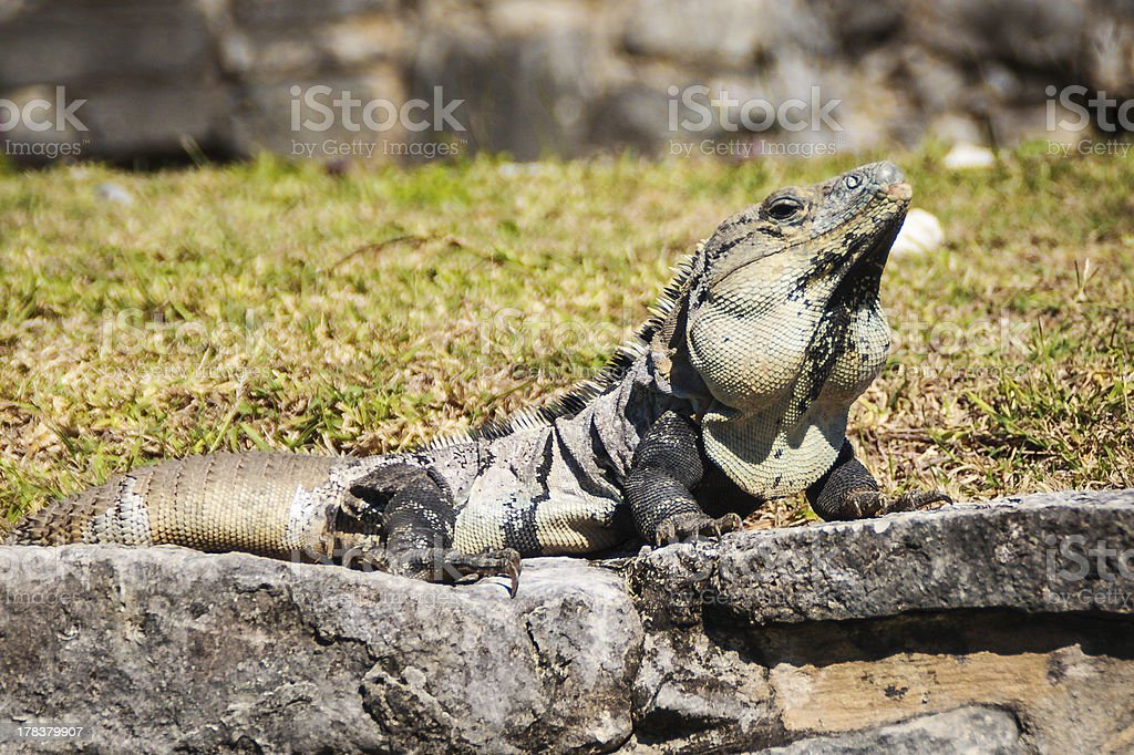 Ctenosaura similis royalty-free stock photo