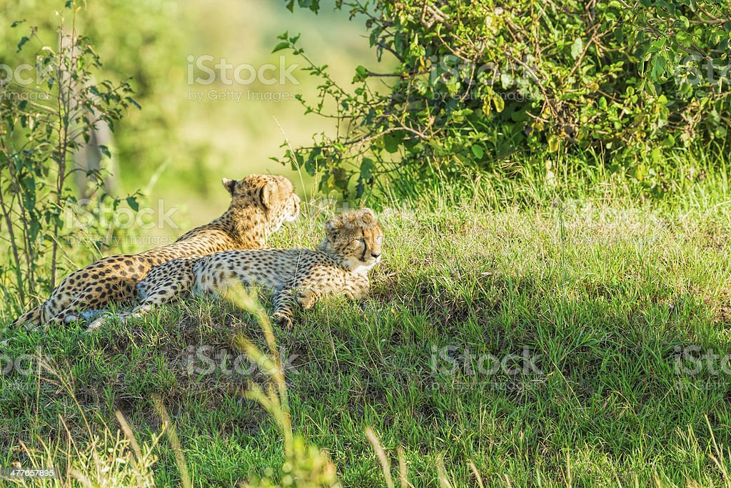 Cub Cheetah with Mother - Lying Down and resting royalty-free stock photo