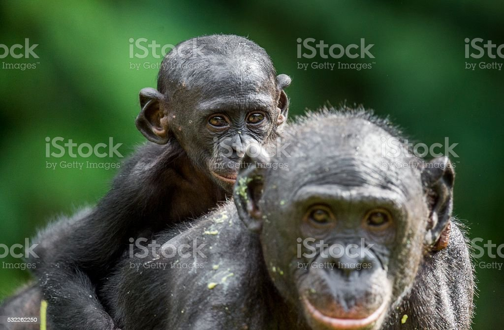 Cub of a Bonobo on a back of Mother stock photo