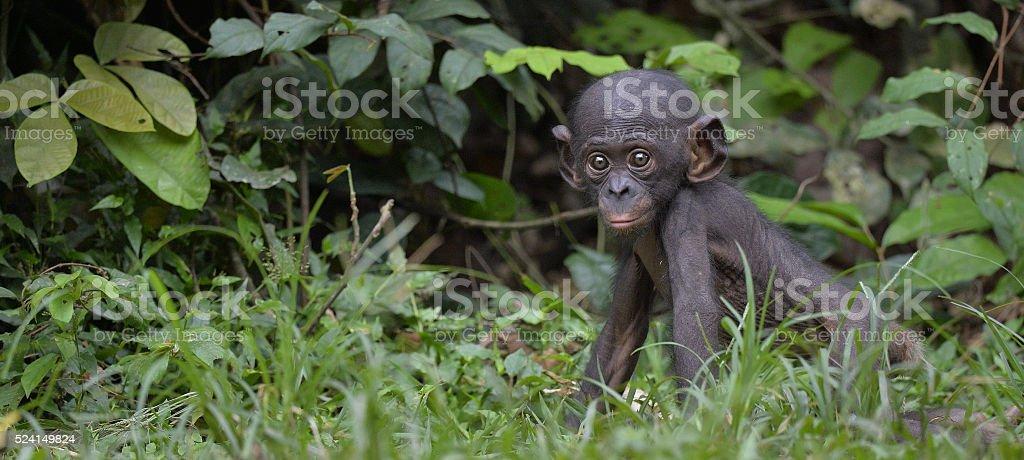 Cub of chimpanzee  Bonobo in natural habitat. stock photo