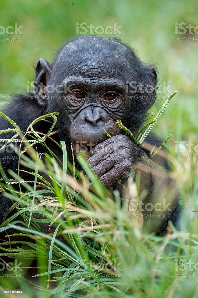Cub of chimpanzee  Bonobo. stock photo