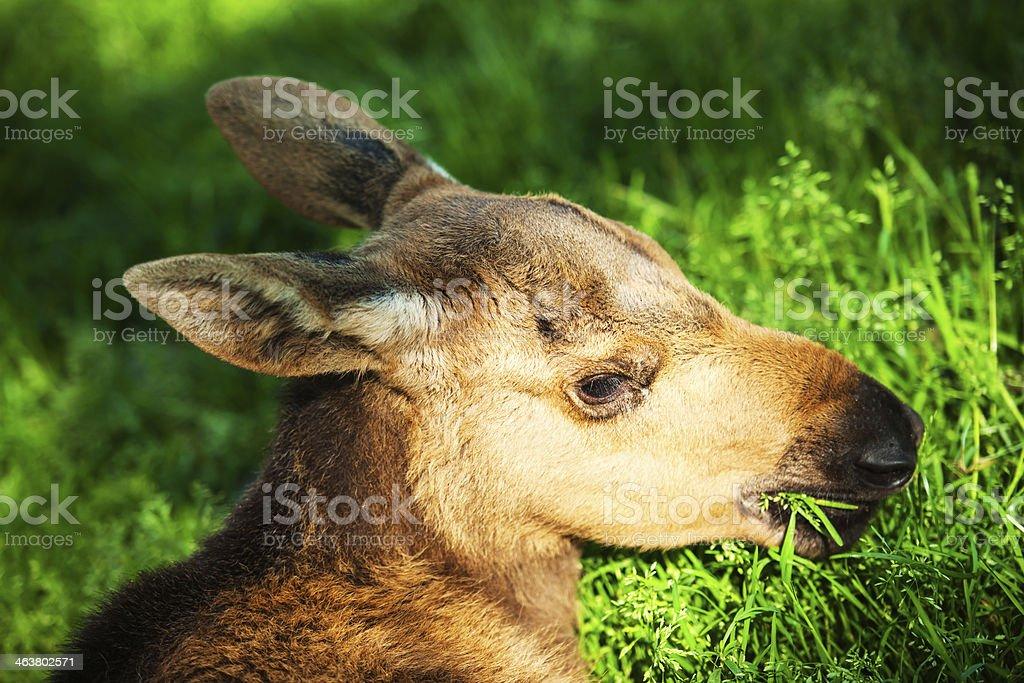 Cub of Eurasian Elk stock photo
