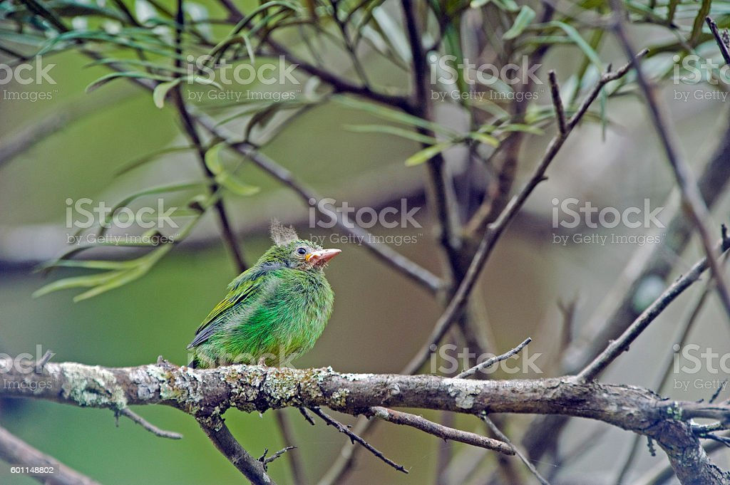 Cub of green-headed tanager stock photo