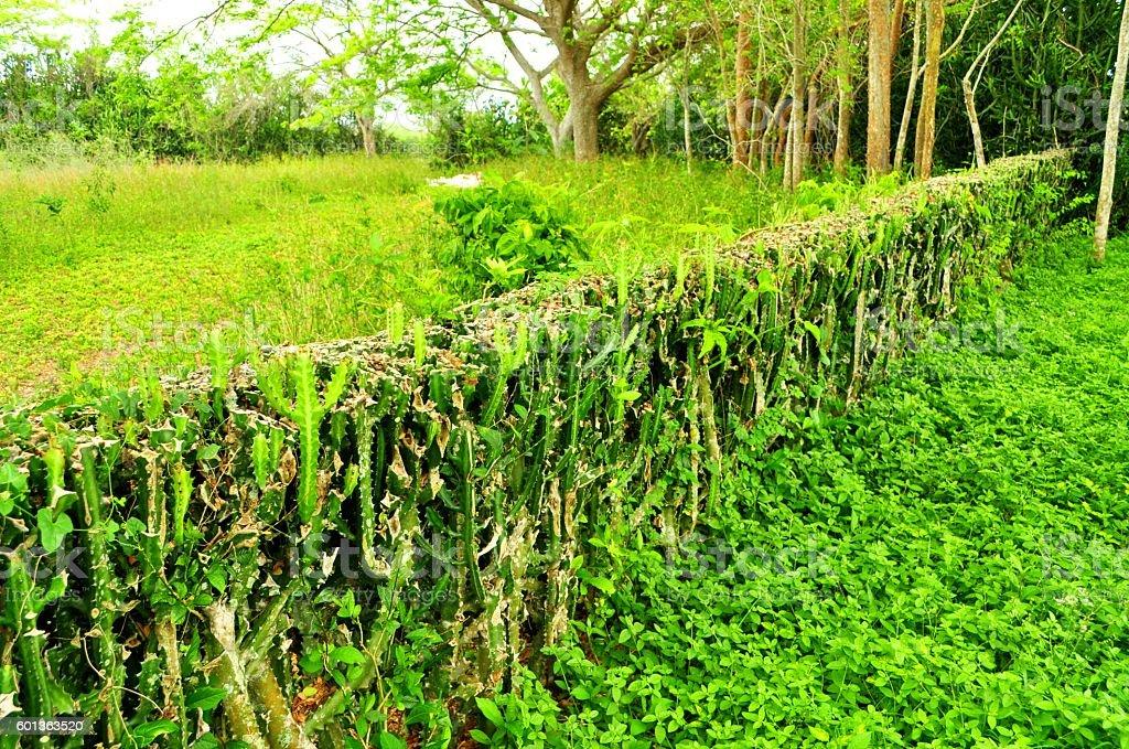Cuba cactus fence green spiky stock photo