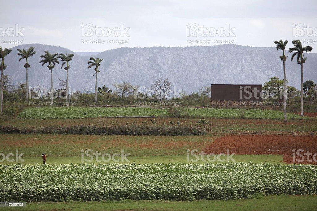 キューバ産の農産物 ロイヤリティフリーストックフォト