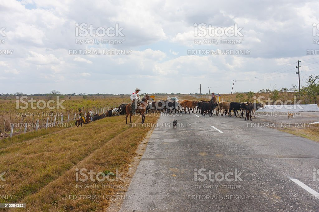 Cuban cowboys with their herd stock photo