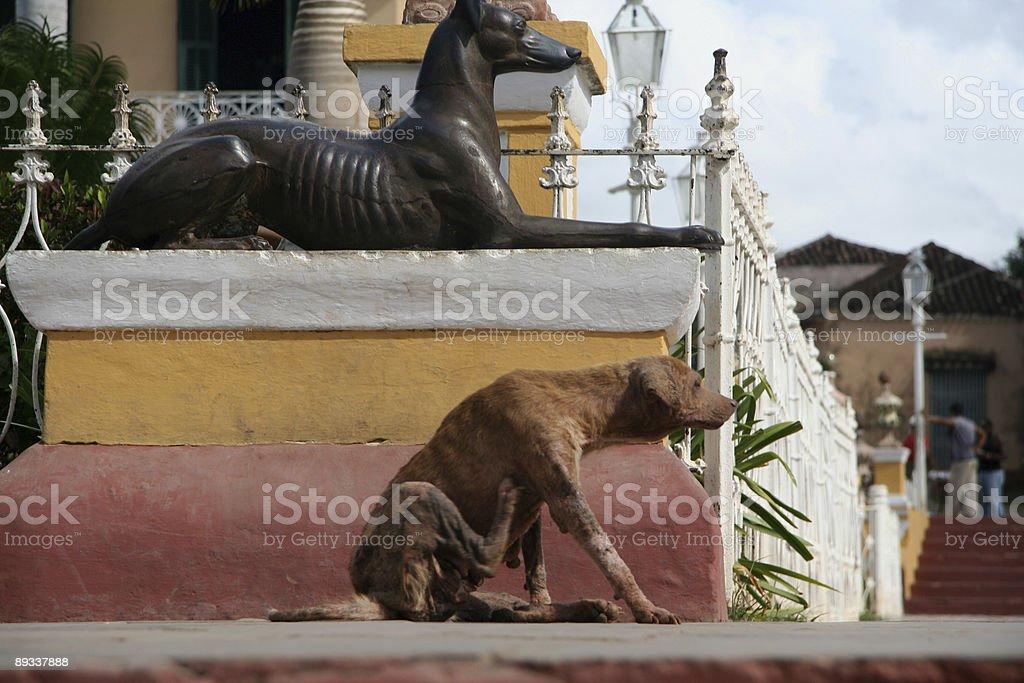 cuban dog royalty-free stock photo