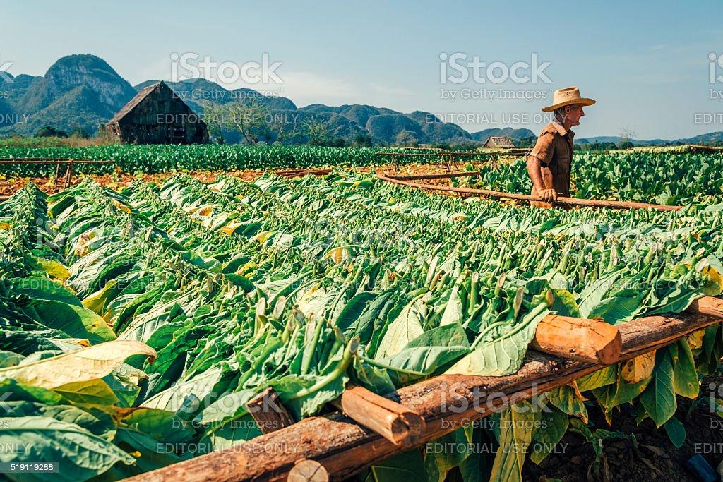Cuban farmer at a tobacco plantation stock photo