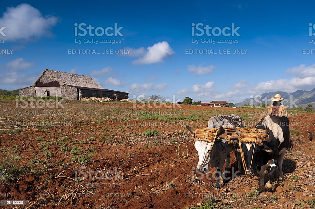 Cuban farmer plows his field with two oxen royalty-free stock photo