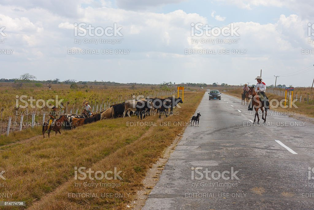Cuban gauchos with their herd stock photo