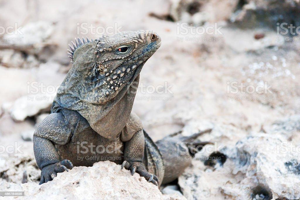 Cuban rock iguana (Cyclura nubile). stock photo