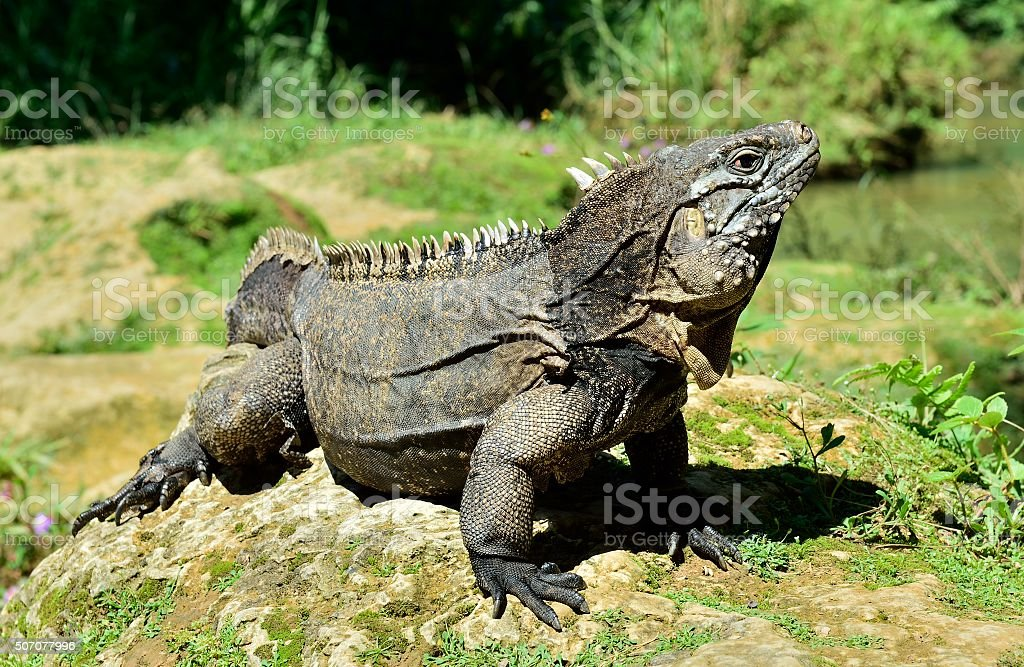 Cuban rock iguana stock photo
