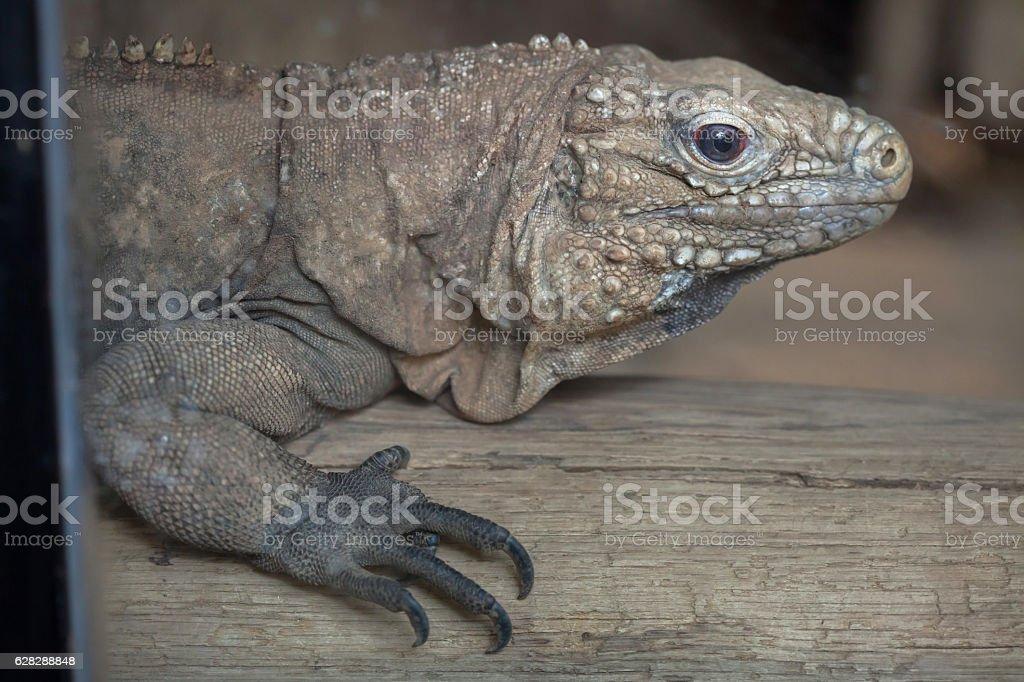 Cuban rock iguana (Cyclura nubila) stock photo