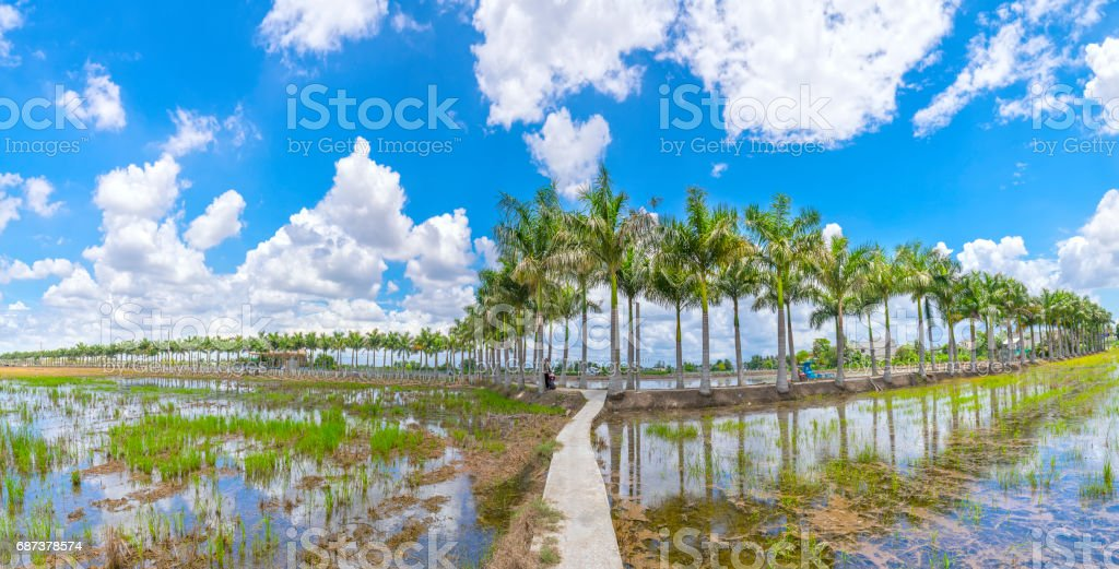 Cuban Royal Palm trees planted along a rural road on field in the countryside stock photo