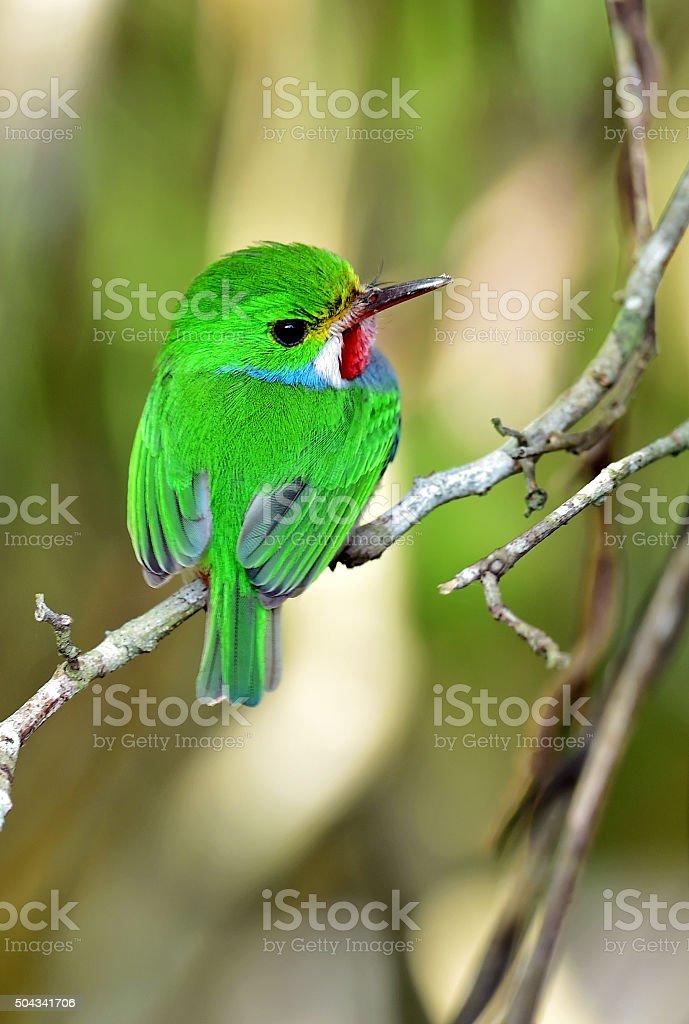 Cuban Tody (Todus multicolor) stock photo