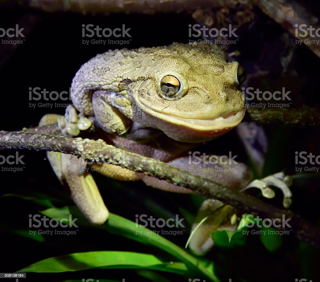 Cuban Tree Frog at night. stock photo