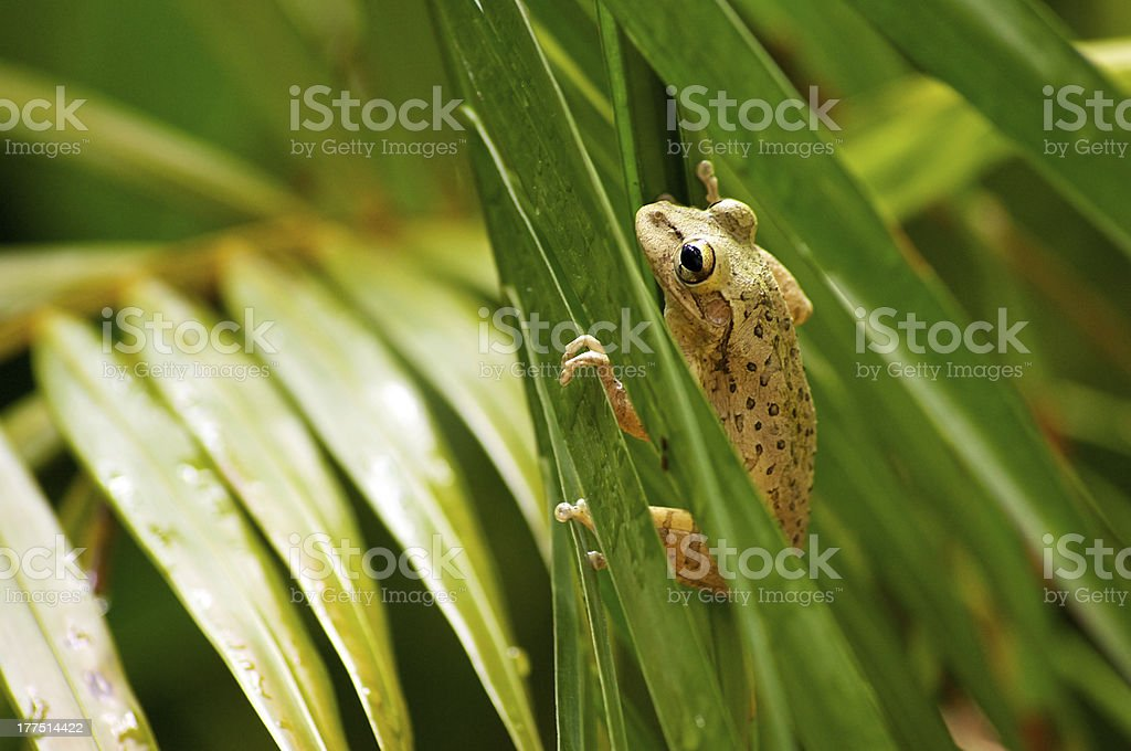 cuban tree frog climbing stock photo