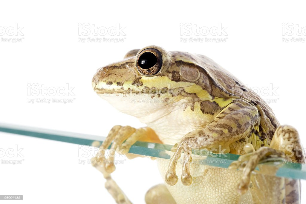 Cuban Tree Frog Invading stock photo