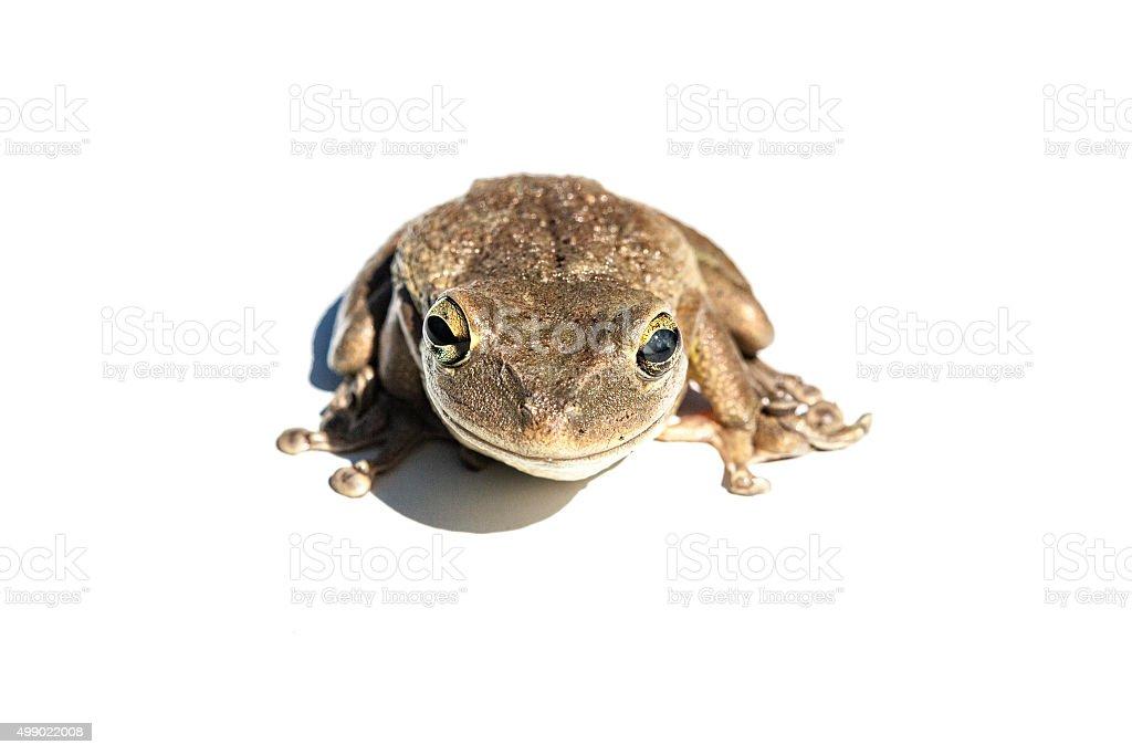 Cuban Tree Frog Isolated stock photo