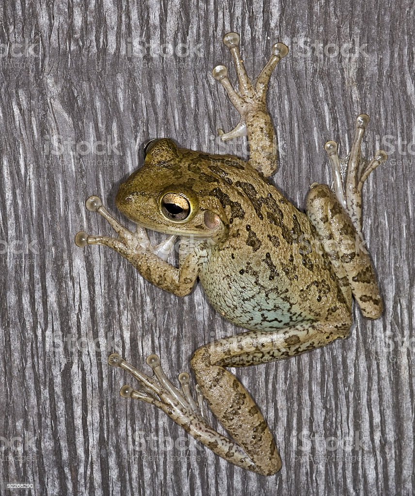 Cuban Tree Frog on a Palm at Night. stock photo