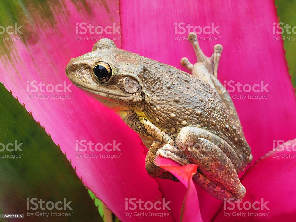 Cuban Tree Frog on a Pink Tropical Bromeliad stock photo