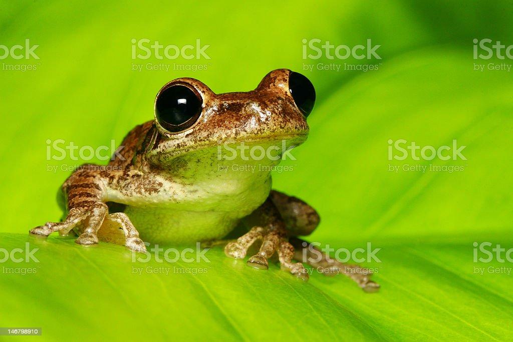 Cuban Tree Frog on Backlit Green Leaf stock photo