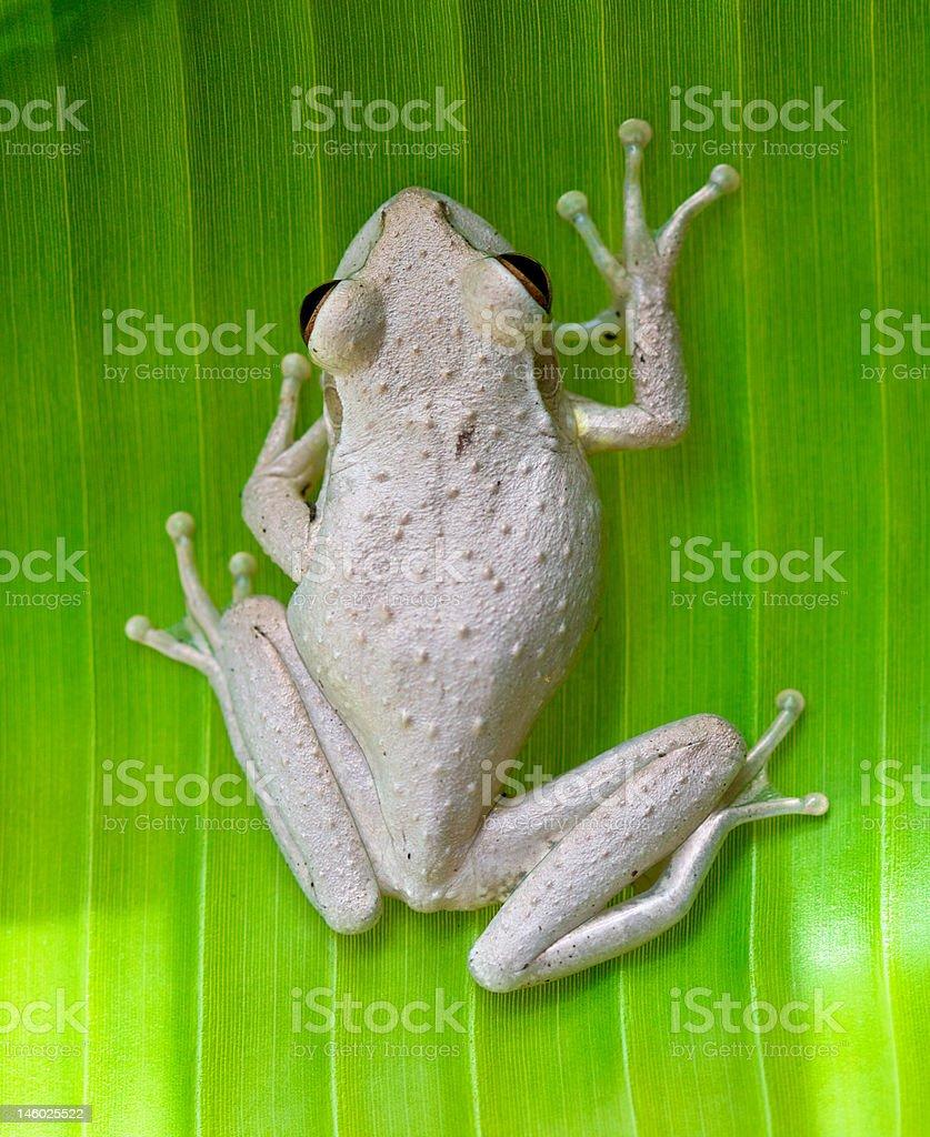 Cuban Tree Frog On Banana Leaf stock photo