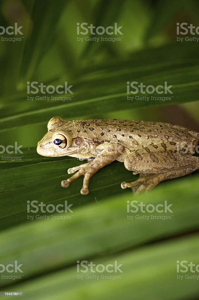 cuban tree frog on palm frond stock photo