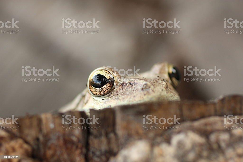 Cuban tree frog stock photo