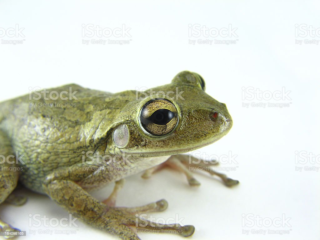 Cuban Tree Frog (Osteopilus Septentrionalis) stock photo