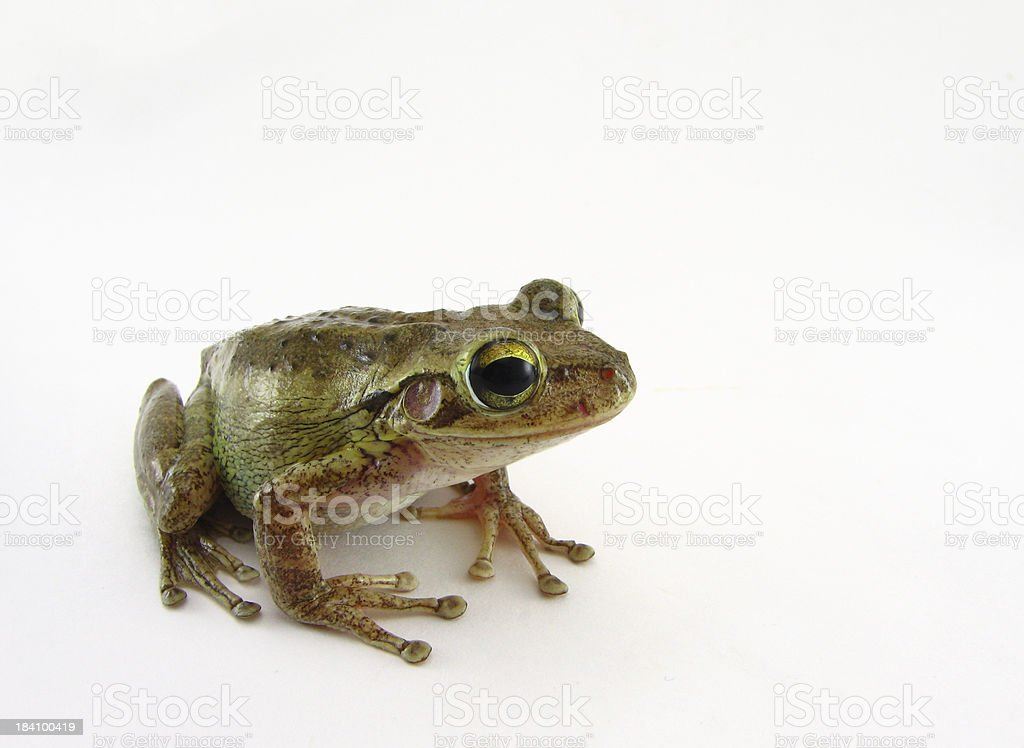Cuban Tree Frog (Osteopilus Septentrionalis) royalty-free stock photo