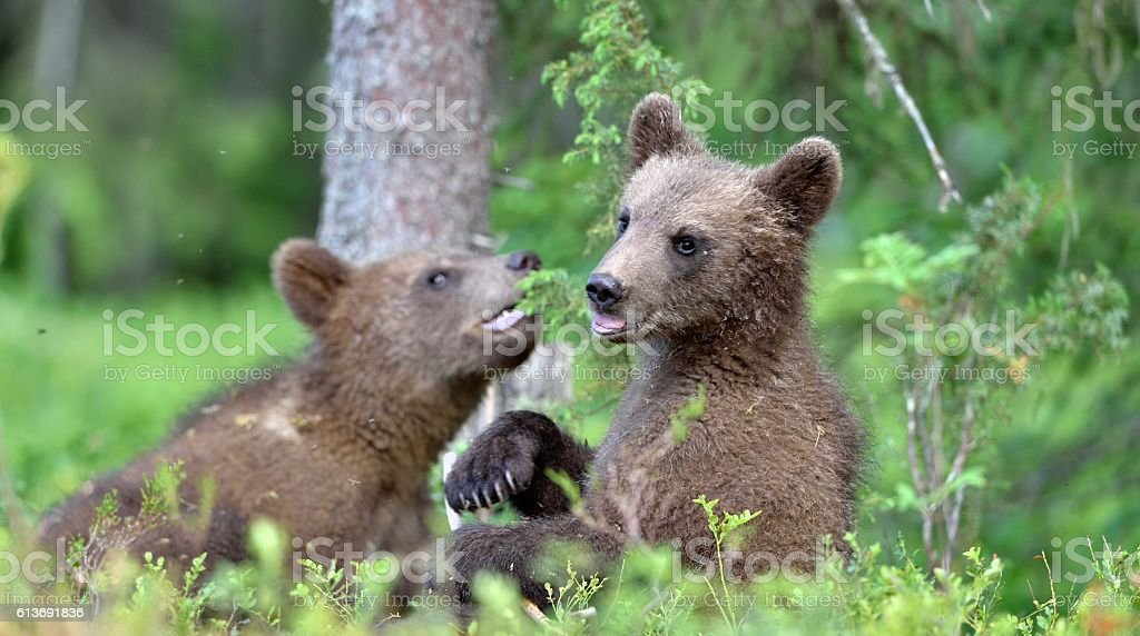 Cubs of Brown bear stock photo