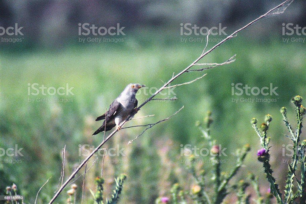 Cuckoo Bird on  branch of dry plants. Astrakhan region, Russia stock photo
