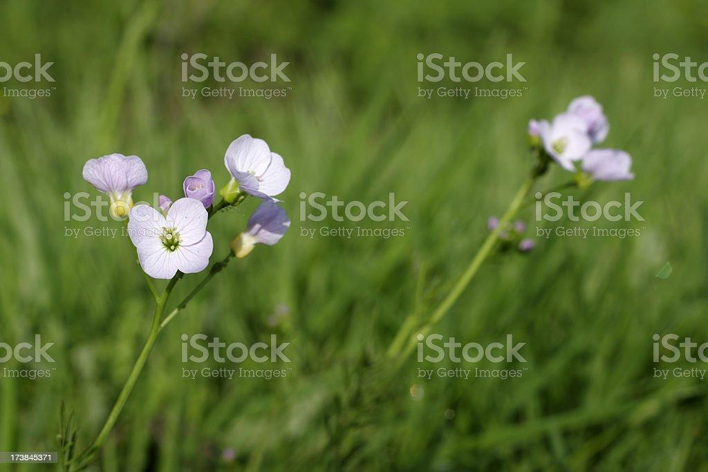 Cuckoo flower Cardamine pratensis waterside wildflower in spring stock photo