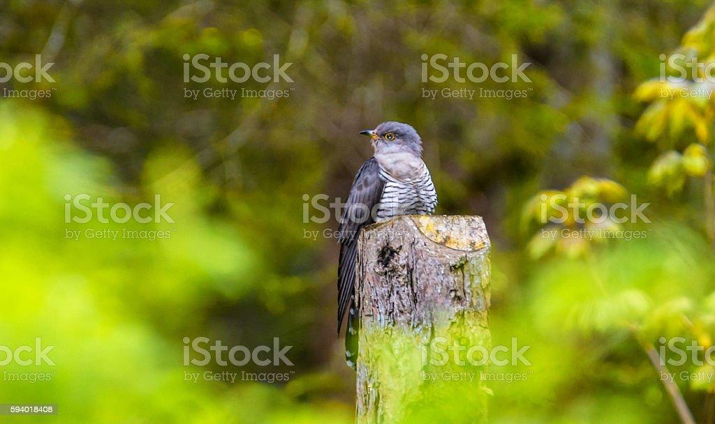 Kuckuck auf einem abgesägtem Baum stock photo