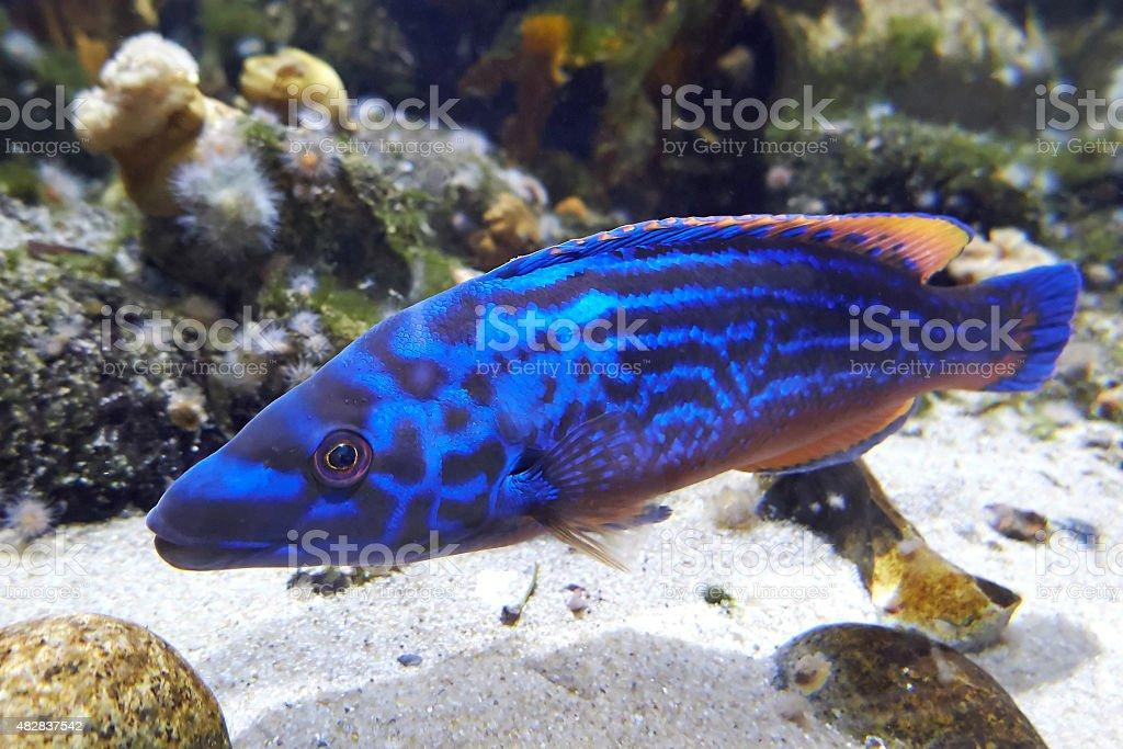 Cuckoo wrasse (Labrus mixtus) stock photo