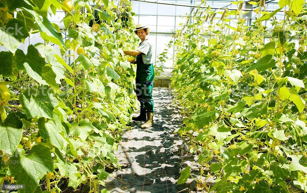 cucumber crop royalty-free stock photo