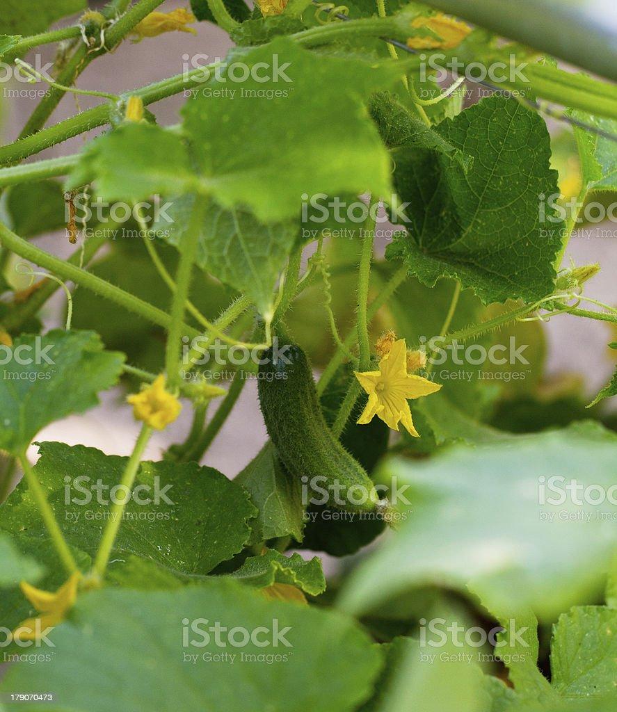 cucumber flower royalty-free stock photo