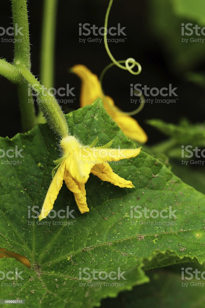 cucumber flower royalty-free stock photo