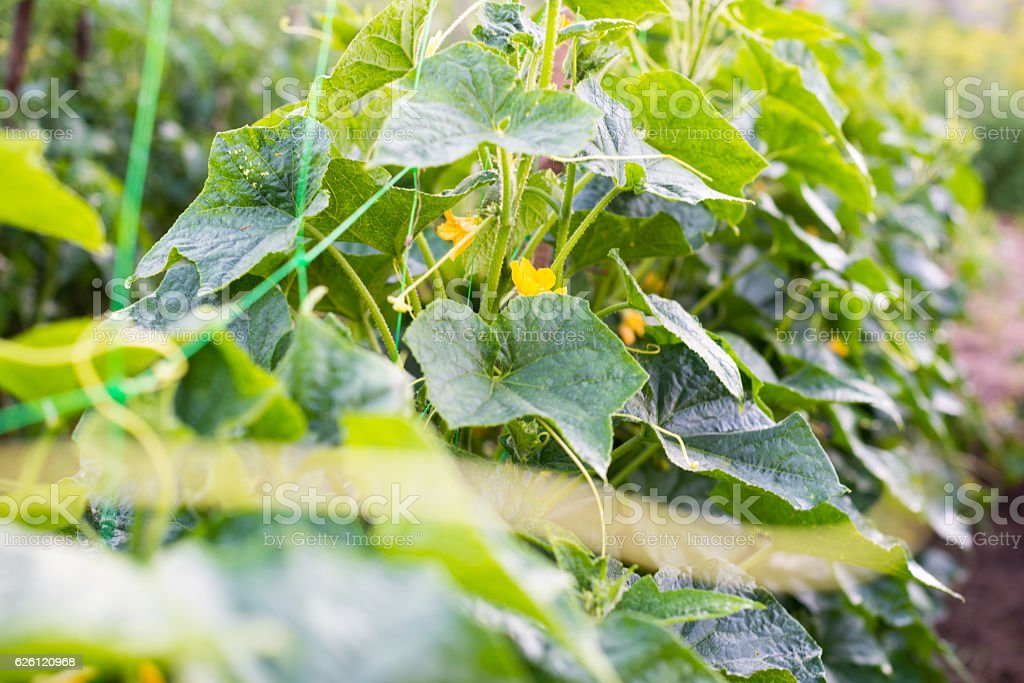 Cucumber flowers, creeping vines and leaves stock photo