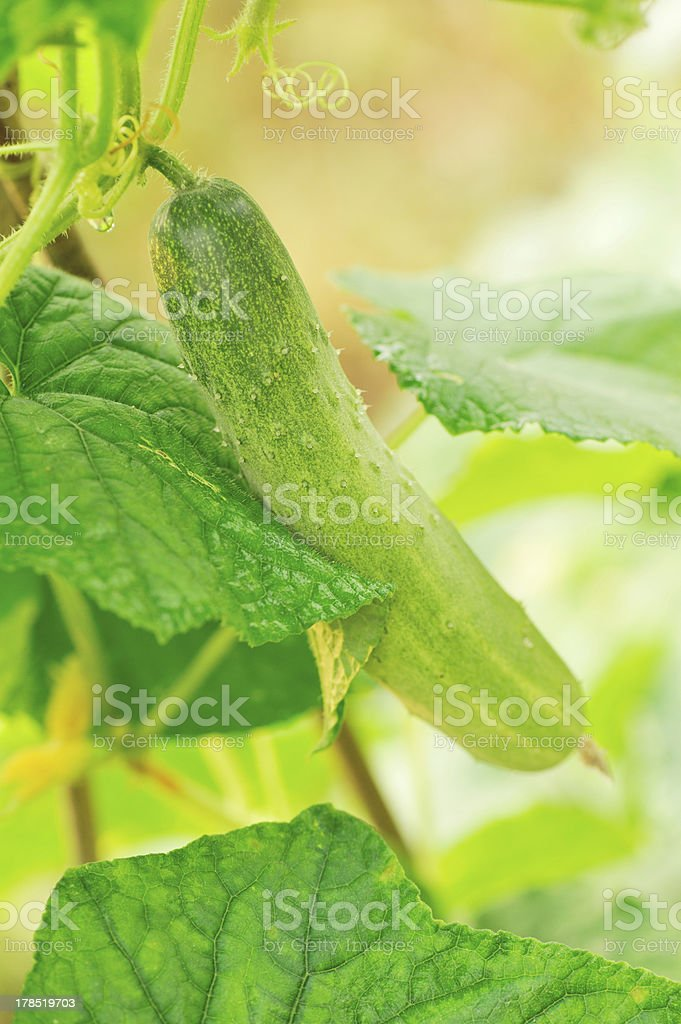 cucumber fruit and leaves royalty-free stock photo