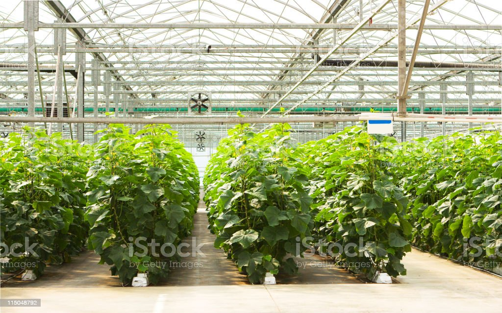 Cucumber Greenhouse royalty-free stock photo