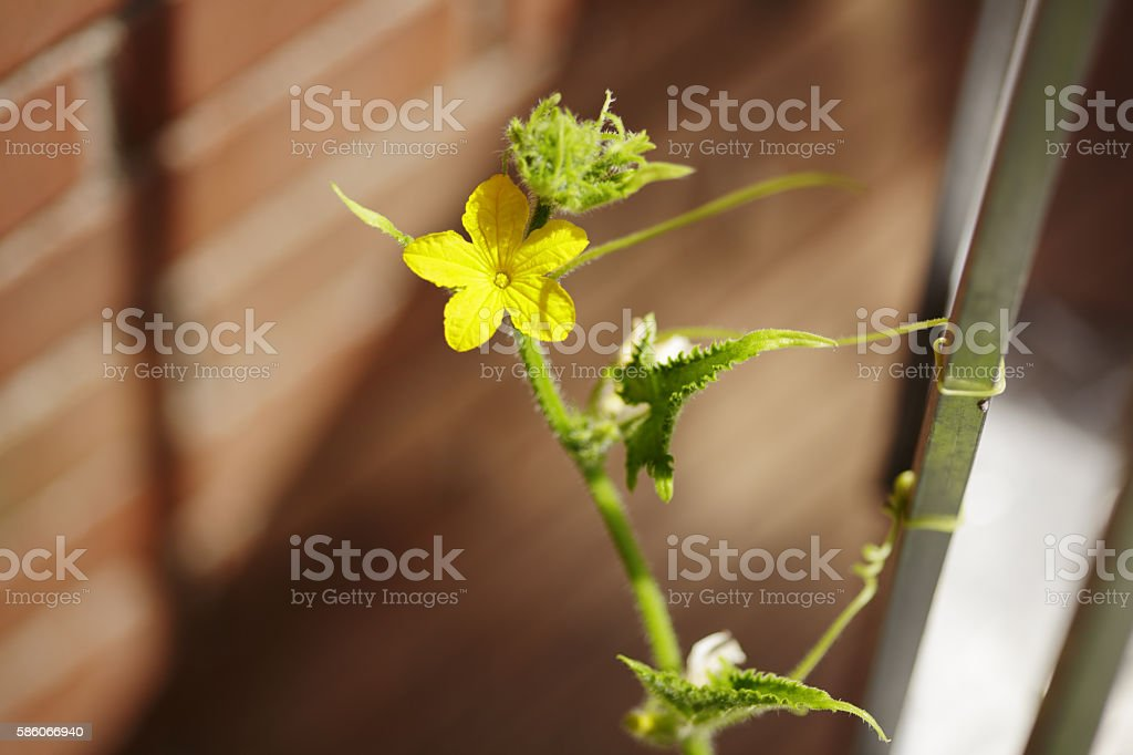 Cucumber Plant stock photo
