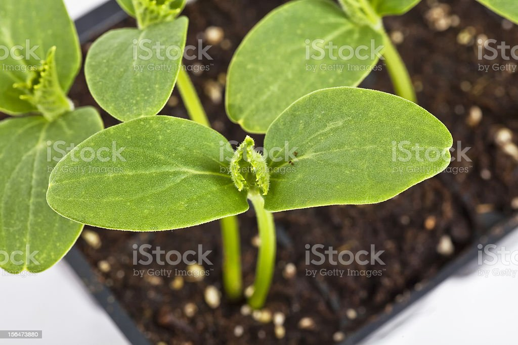 Cucumber Seedlings royalty-free stock photo