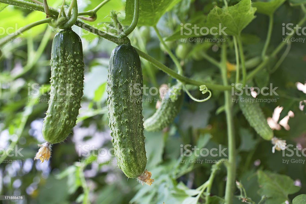 A cucumber tree with plants in the background stock photo